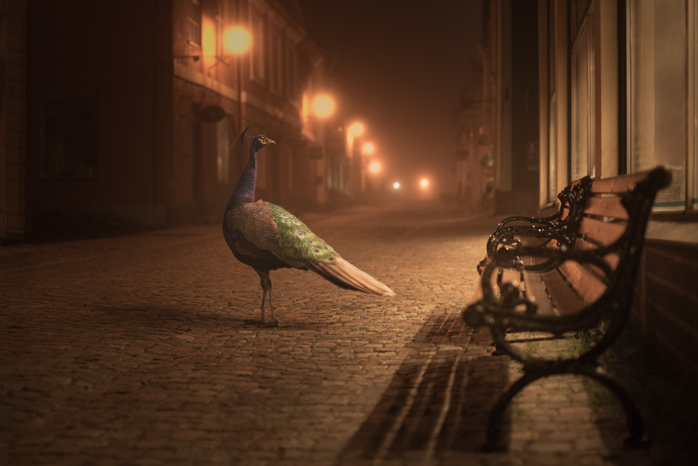 Mikko Lagerstedt - Night Animals - Peacock