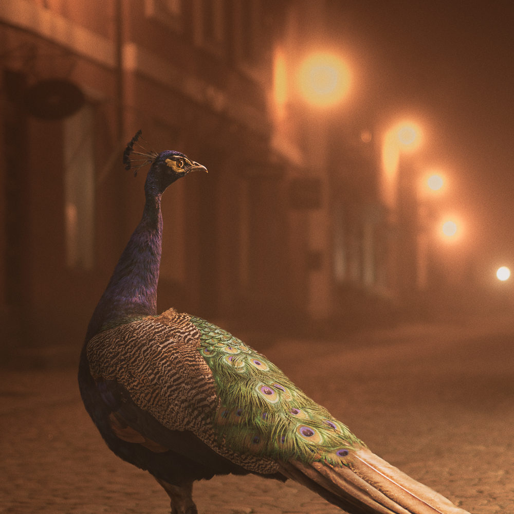 Mikko Lagerstedt - Night Animals - Peacock Detail