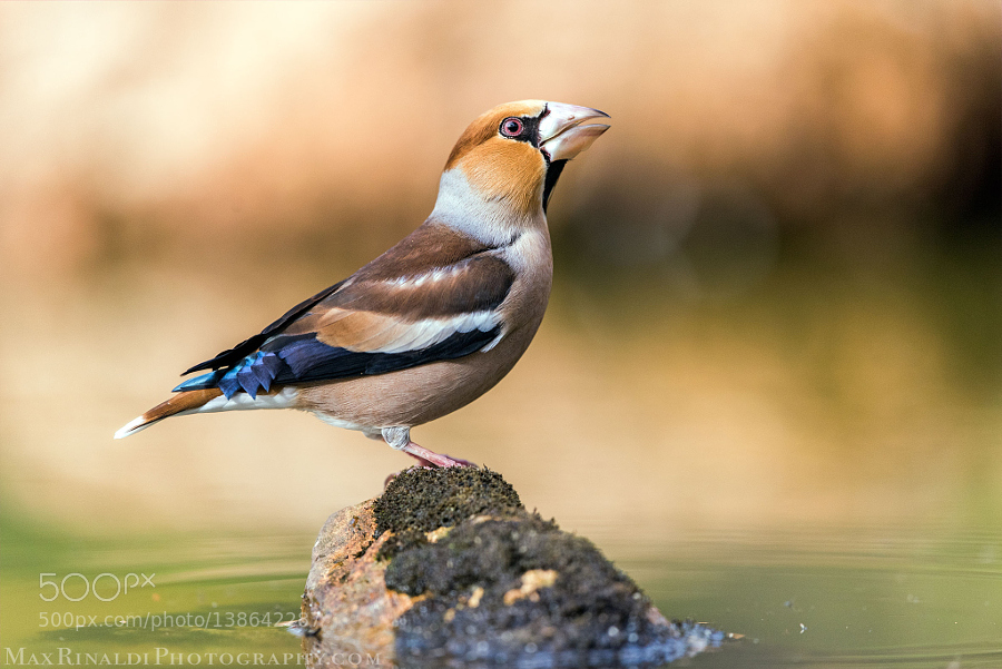 Hawfinch male - Portrait