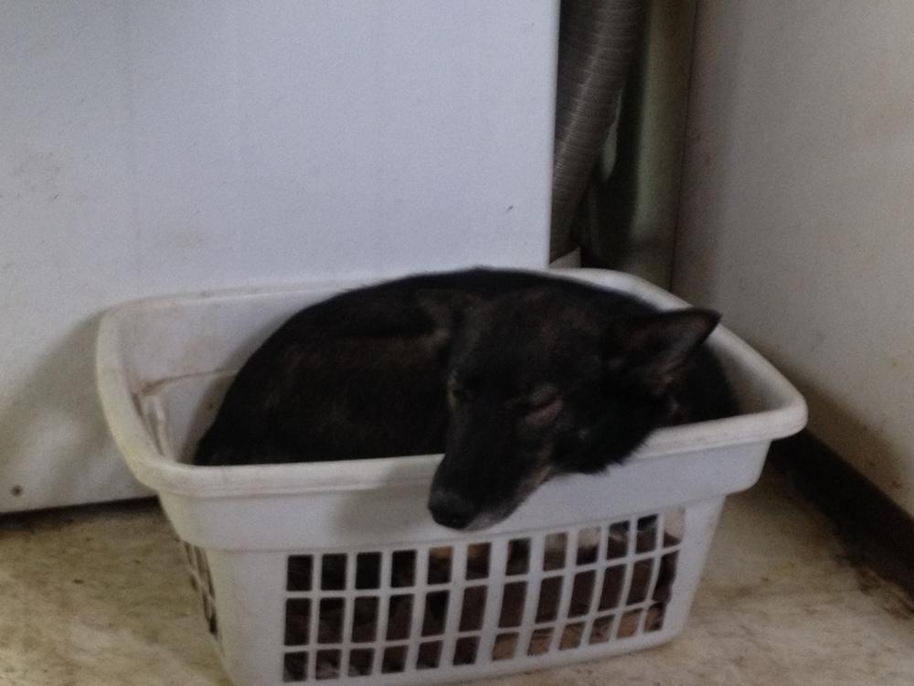 Laundry basket = dog bed.