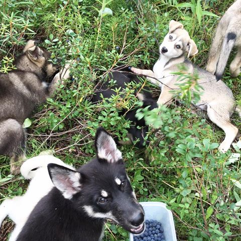 Puppies helping me pick blueberries.