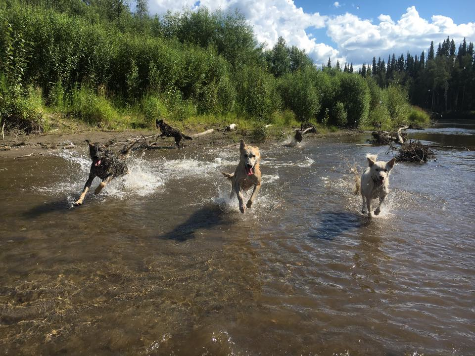Yuker, Crunch and Cartel playing in the Chena River.