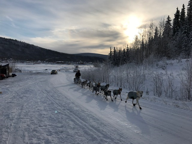After arriving at the check-in in downtown Dawson City, the team still had a few mile run to the campground. In the past, the Yukon River was frozen all the way across at the check-in, but with an open river, teams were having to travel upstream to find an ice bridge that spanned all the way across, and finally the dogs are across and almost to their resting spot.