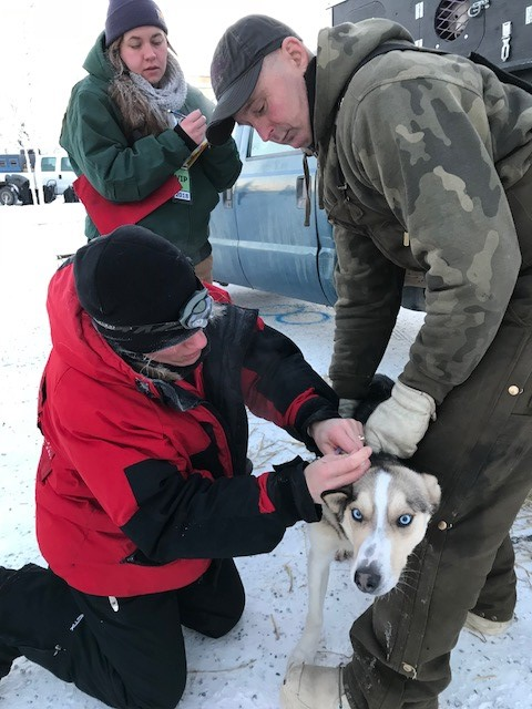 Each dog has a microchip inserted at the Vet check allowing the Vets to scan a dog at checkpoints to verify their identity. Wingman's chip had fallen out since the Vet checks, so he is having a new one inserted.