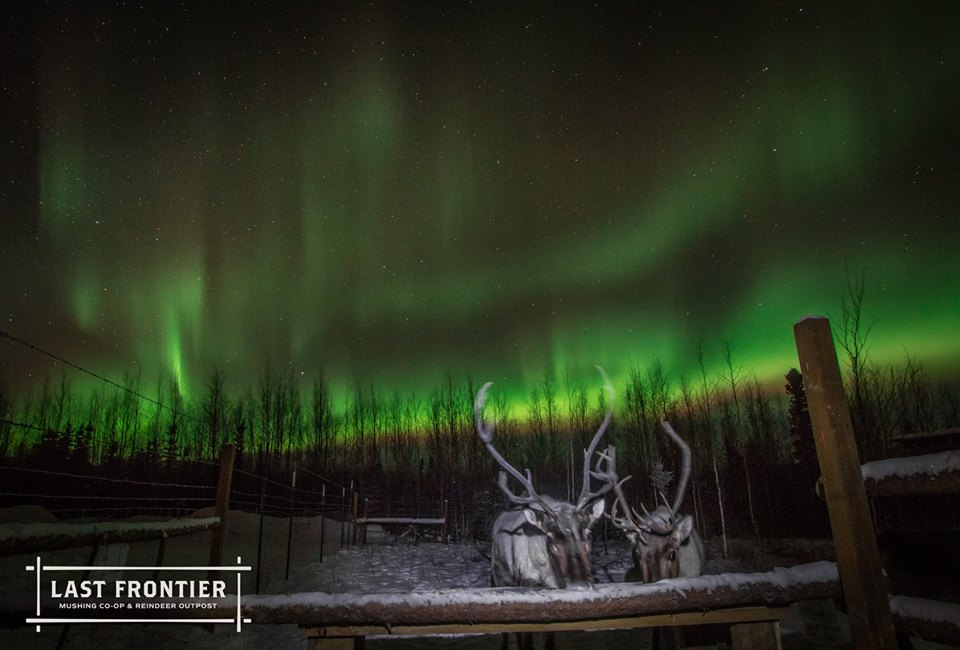 Not related to the yearlings, but we've had some incredible shows! Reindeer and Northern Lights!