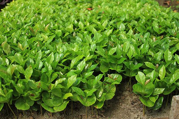 Baby coffee plants.