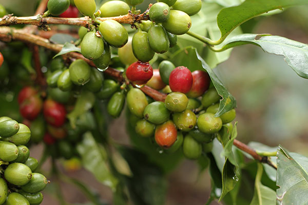 Harvesting ripe cherries at the right moment -precisely when their sugar contents peak- is crucial to the quality of your coffee.