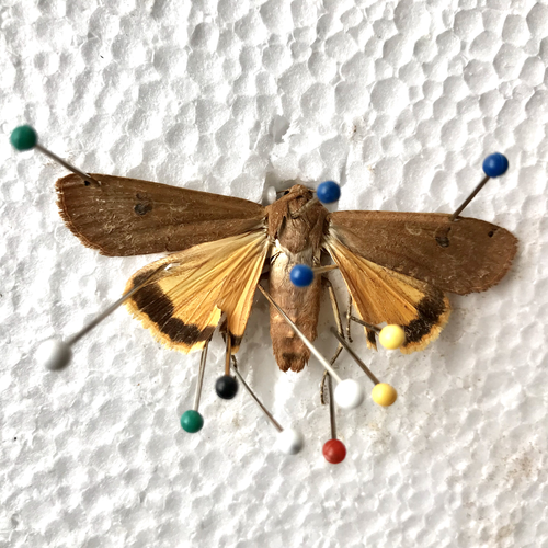I found insect specimens in my lighting fixtures at home. After soaking them in alcohol to soften them up, I pinned them in place using my sewing pins and a piece of styrofoam.