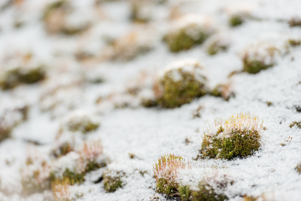 Freshly fallen snow accents green moss growing on a shed roof in Holzhausen, Germany.
