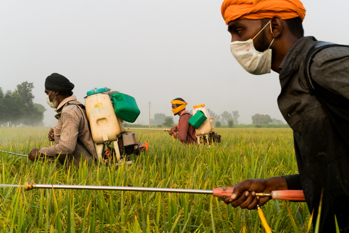 Nachhatar Singh, 50, (L) works as a day laborer spraying pesticides and insecticides on basmati rice, outside of Mari Mustafa, Punjab, India, October 4, 2016.