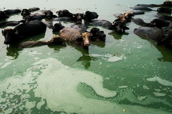 Cows bathe in a contaminated pond in the middle Mari Mustafa, Pubjab, India, October 1, 2016. Many of the residents of Mari Mustafa blame the pond for their illnesses.