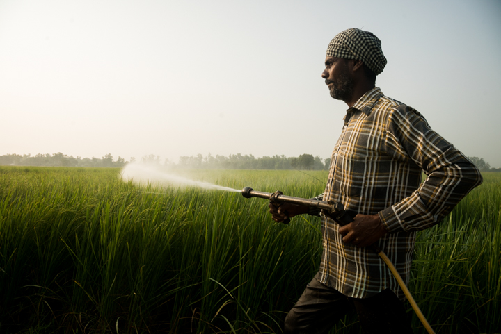 Wariam Singh sprays pesticides and insecticides onto a basmati rice field in Khurmania, outside of Amritsar, Punjab, India, September 23, 2016.