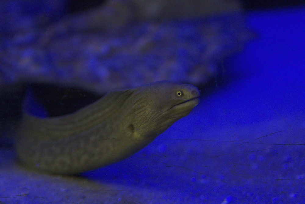 Chestnut Eel.jpg