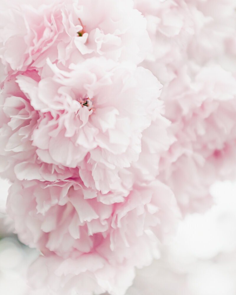 Cherry Blossom, Lisa Ridgely Photography