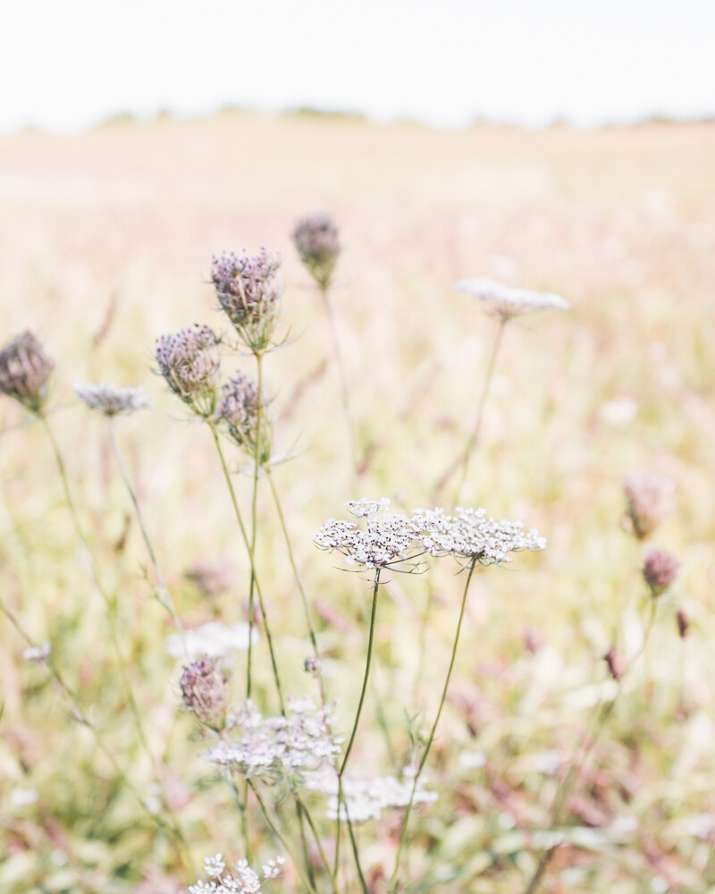 Lisa Ridgely Photography Wildflower Field Queen Anne's Lace Photography Print