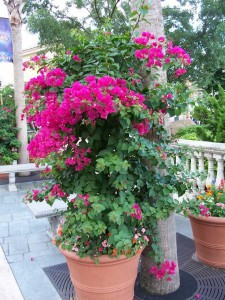 bougainvillea can be potted easily! needs lots of light though