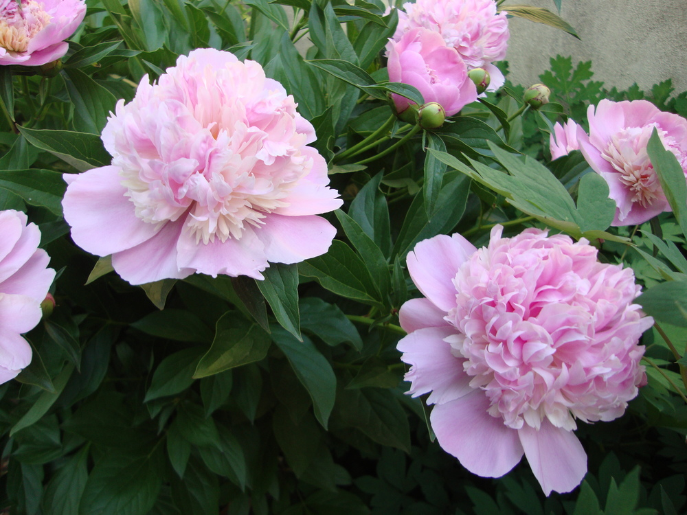 Pink peonies from my spring garden.