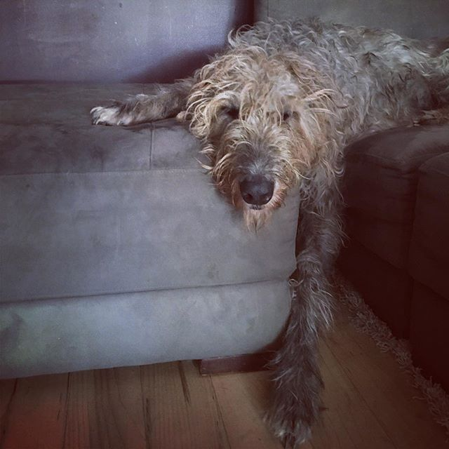 too early #birdistheword #irishwolfhound