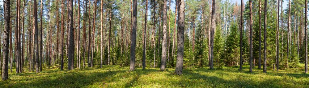 Woodland treeline.jpg