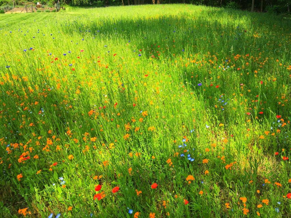 Wild flower fields