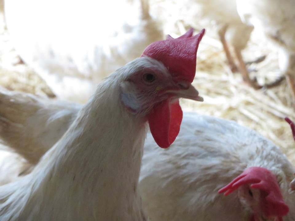 In everything from the motions of her head, to the tone of her calls, the common chicken is expressing intelligence, sophistication, and emotion in ways that we are just beginning to understand.