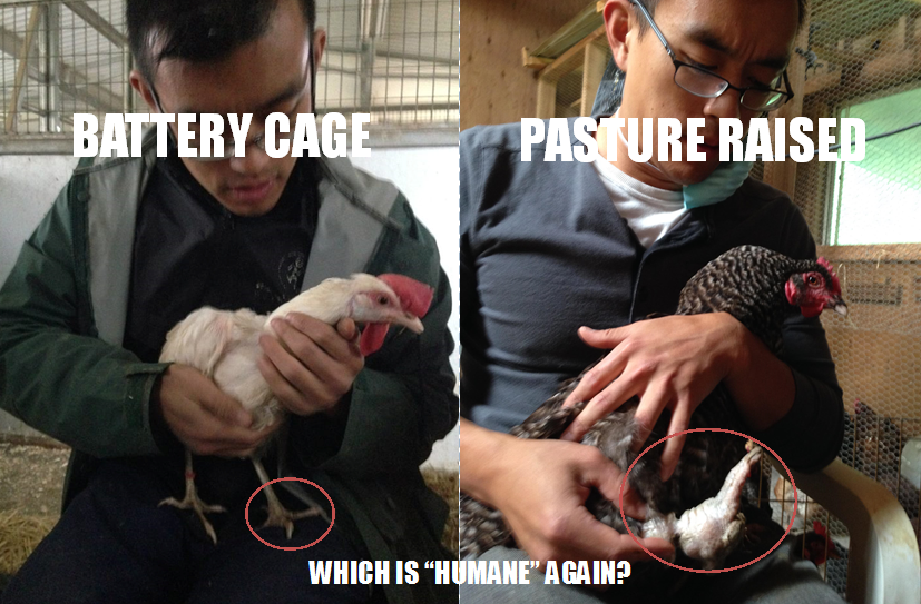 "A band embedded into a hen's deformed and crippled leg is just one brutal example of so-called ""humane"" farming. (Left: normal leg of a chicken rescued from a battery cage facility. Right: swollen and deformed leg of a hen rescued from a ""humane"" and pasture raised facility.)"
