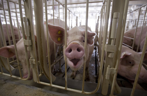 Pigs shown in the gestation building at Grandview Farms in Eldridge, Iowa, on August 9, 2012. Stephen Mally for The New York Times