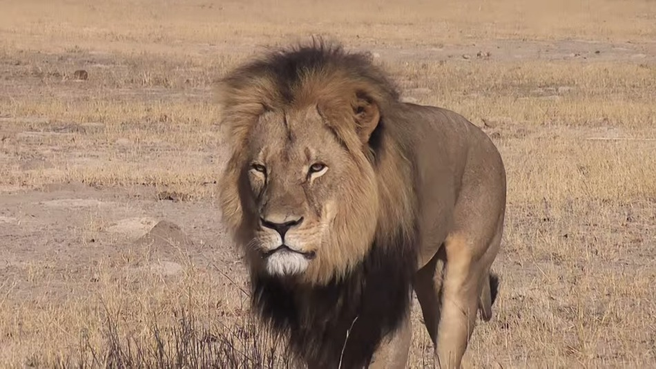 Cecil's death, like any nonhuman death at the hands of a hunter, was a tragedy-- but we cannot allow violence to beget more violence. We must not adopt the ideology of the oppressor, no matter how angry we are.