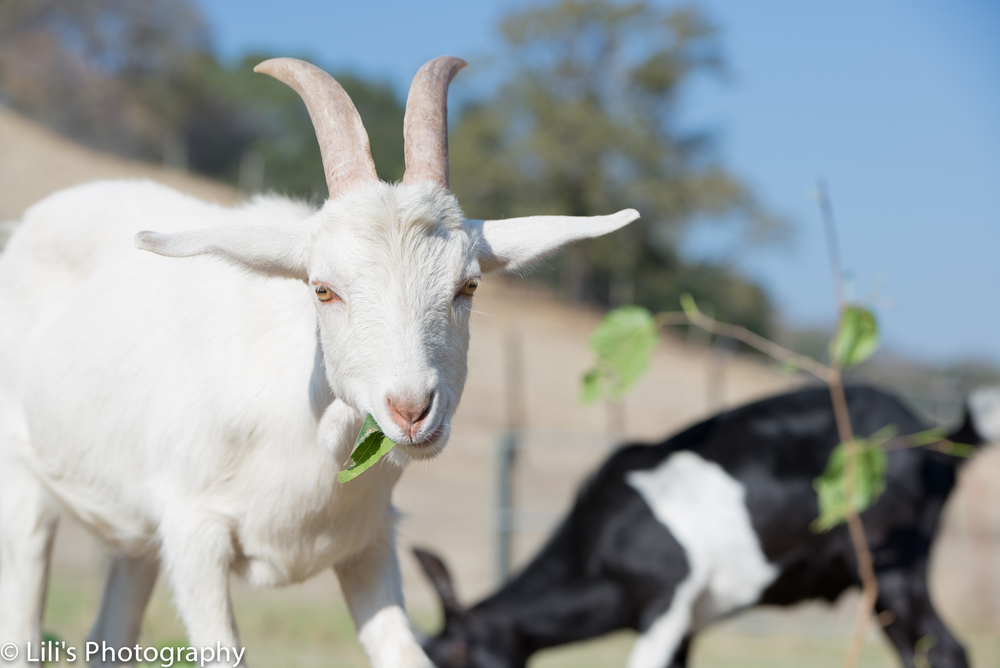 Rufus (black and white goat) and Reggie (all-white goat) eating every goat's favorite snack: mulberry leaves.