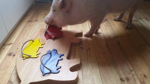 Pigs will naturally learn to solve puzzles that infant humans fail at.