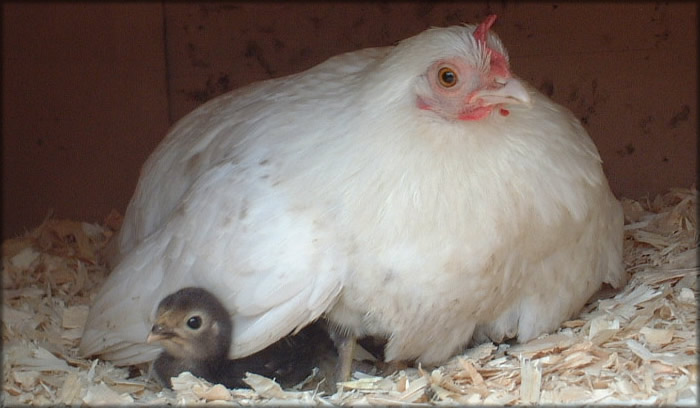 Mother hens will risk their own lives to save their children.