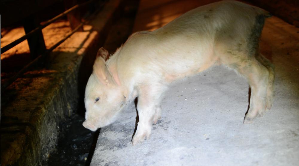 weak starving piglet.png