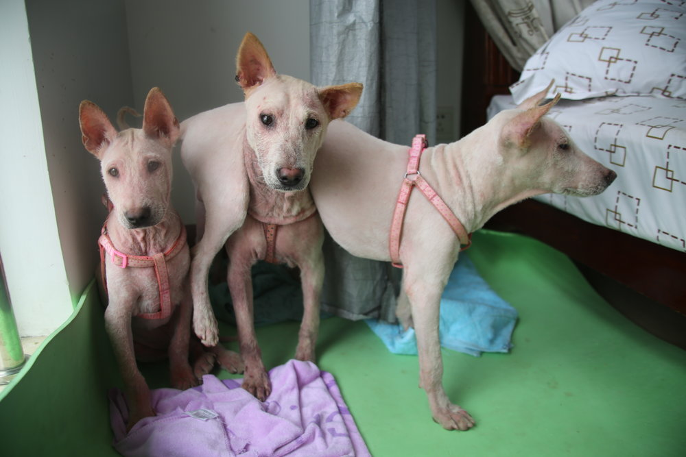 Oliver, Pao, and Lao just days after they were rescued from a dog meat farm in Yulin.
