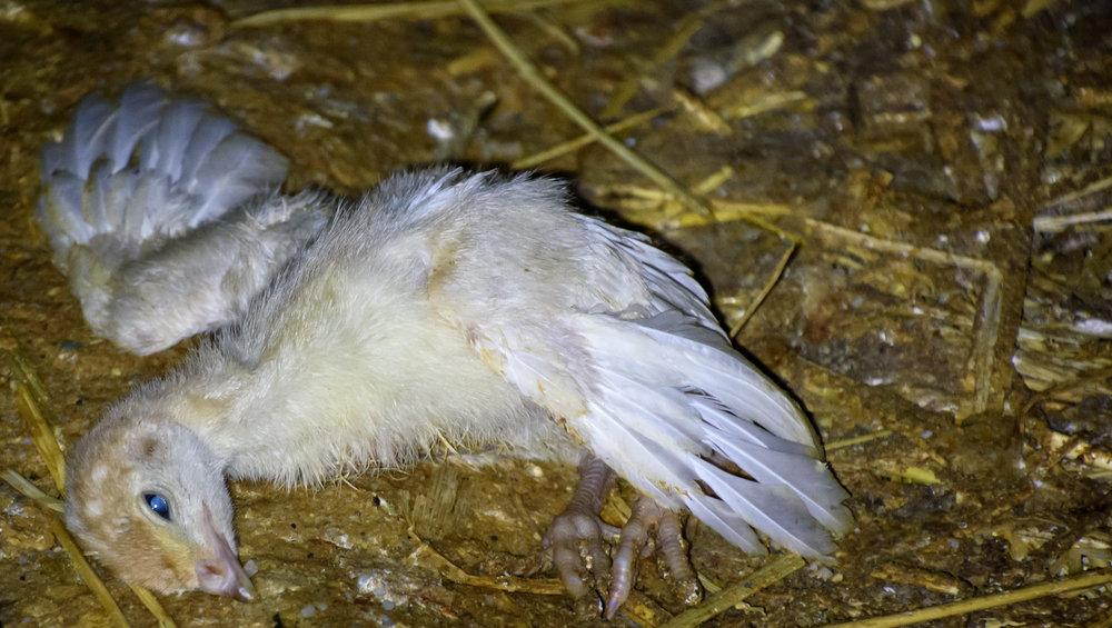 DSC_2084 starving chick.jpg