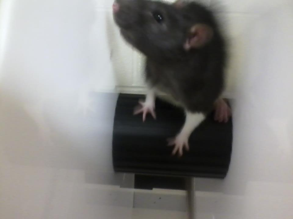 "A rat on a ""stress wheel"" in this lab, used to measure stress levels, perseverance, and depression"