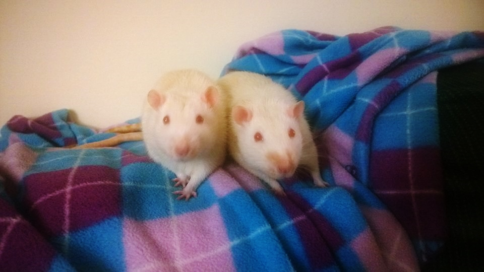 Rats rescued from a lab in Philly: JD (left) and Turk (right)