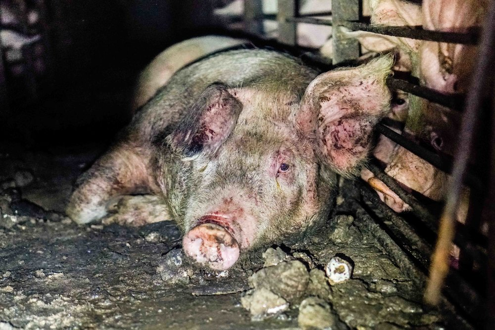 With wounds still fresh from the harsh conditions and constant fighting, a mother pig lays resigned in the dirt.