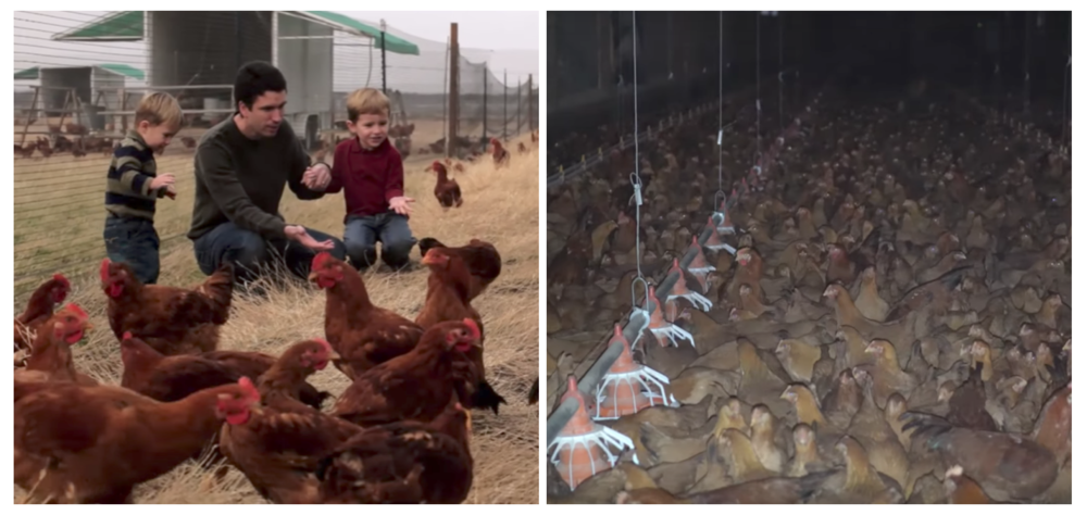 A commercial for Mary's Free Range Chicken (left) versus the reality of their farms as discovered by a DxE investigation.