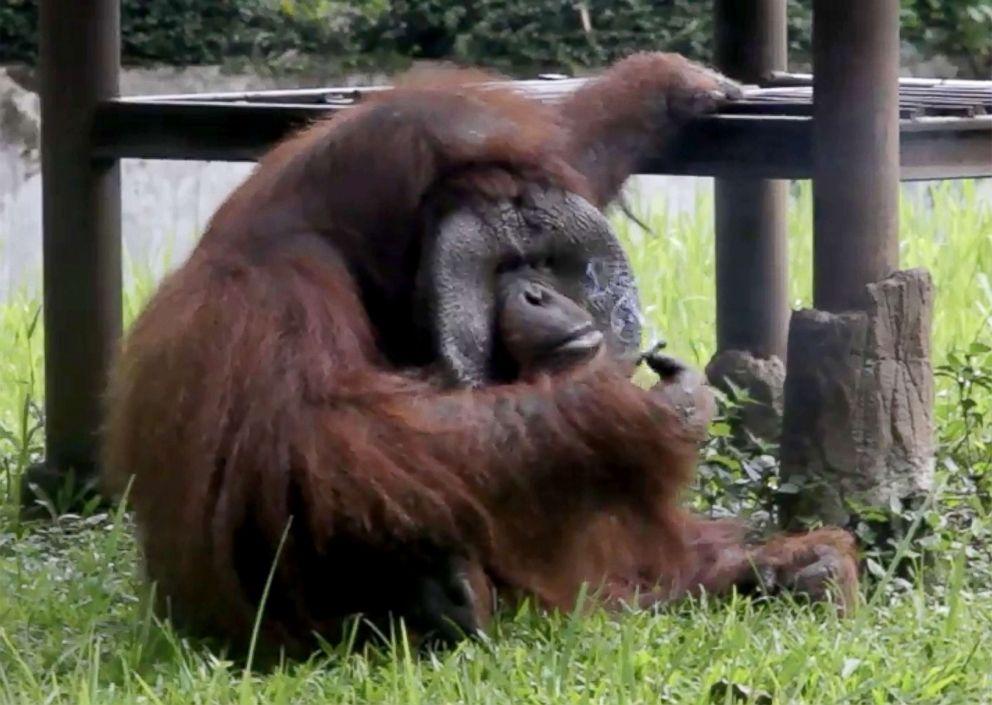 Ozon, a Bornean orangutan, smokes a cigarette while trapped in his zoo enclosure.