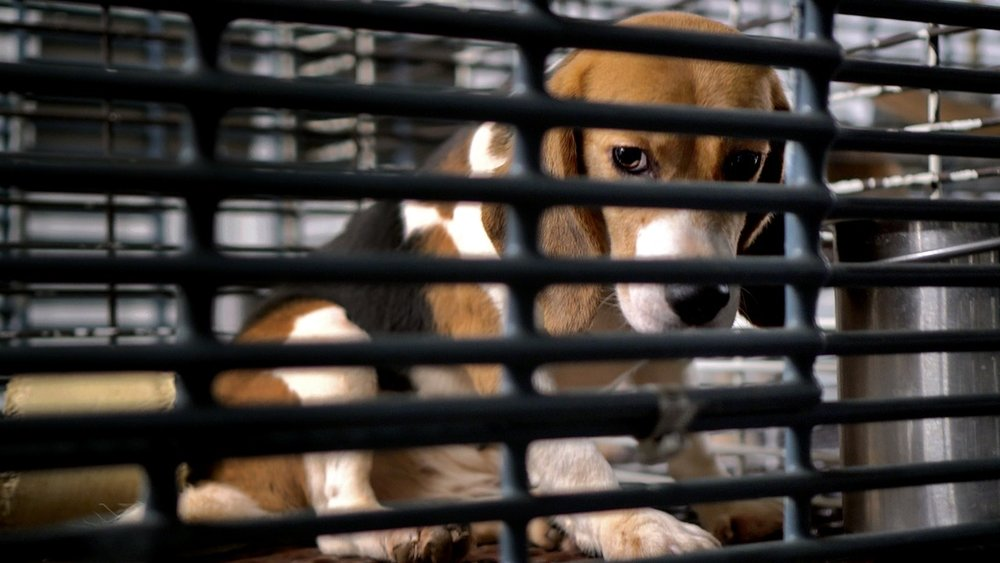 Bred to Suffer: Inside the Barbaric U.S. Industry of Dog Experimentation - May 17, 2018The Intercept