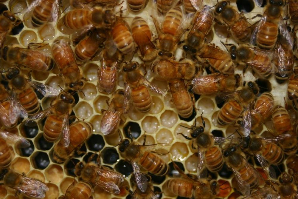 Closeup of Bees and Larva.JPG