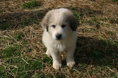 Mikey, our male Great Pyrenees, as a pup!