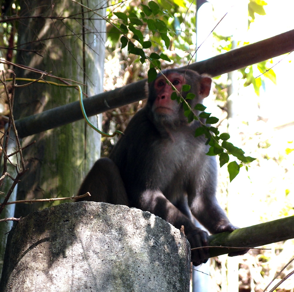 The really quite horrible rhesus macaque monkey