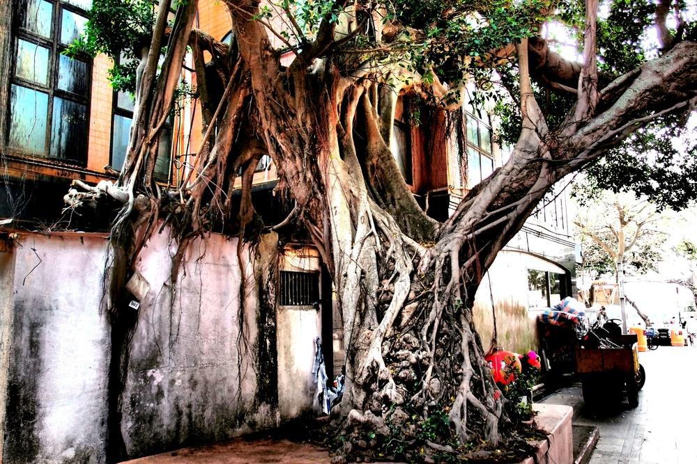 The banyan tree that is worshiped as a temple