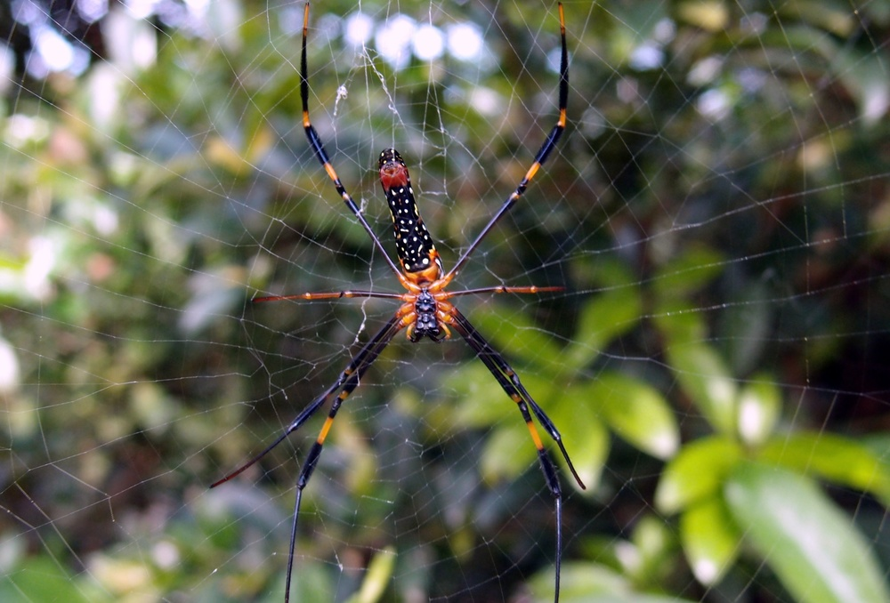 Like most people I have a thing about spiders so I went looking for the Golden Orb spider, I found a family of 5, they are huge and poisonous but absolutely gorgeous and they are everywhere, just lurking.