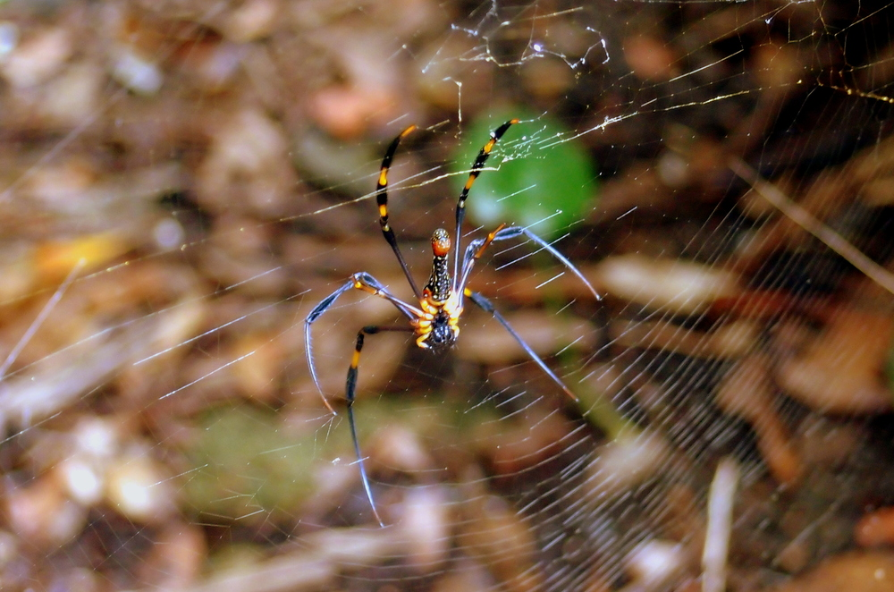 The stuff of nightmares... the Golden Orb spider