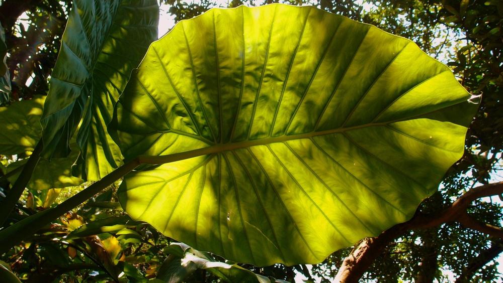 A bloody great big leaf