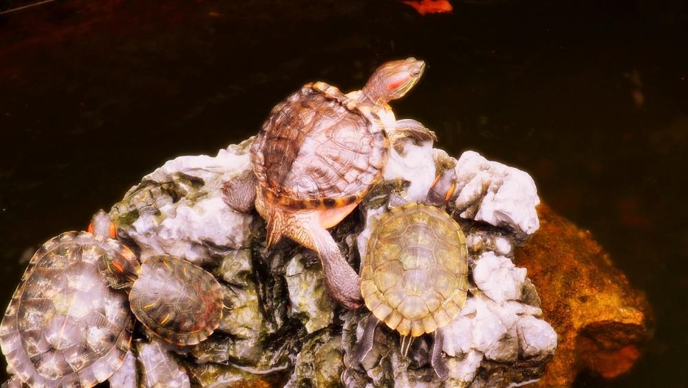 Big daddy turtle
