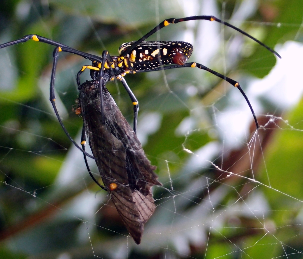 The Golden Orb Spider in Hong Kong