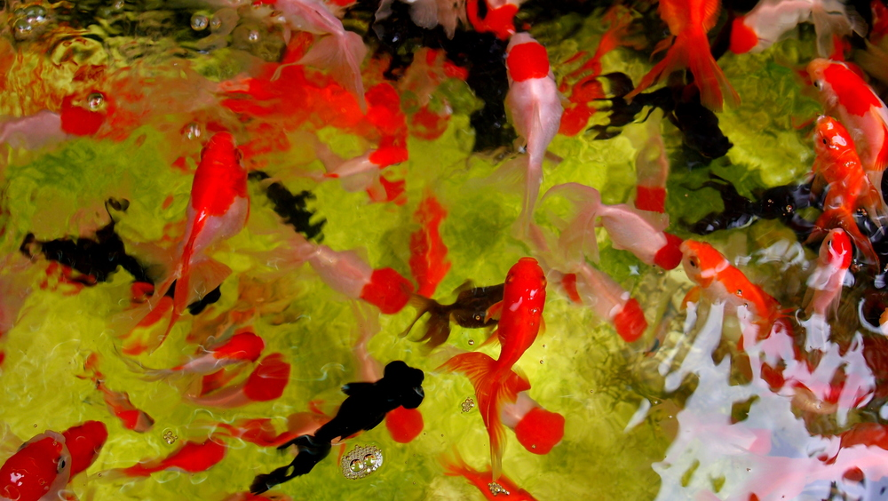 The goldfish market in Mongkok is fast disappearing, these days it is just a couple of shops....